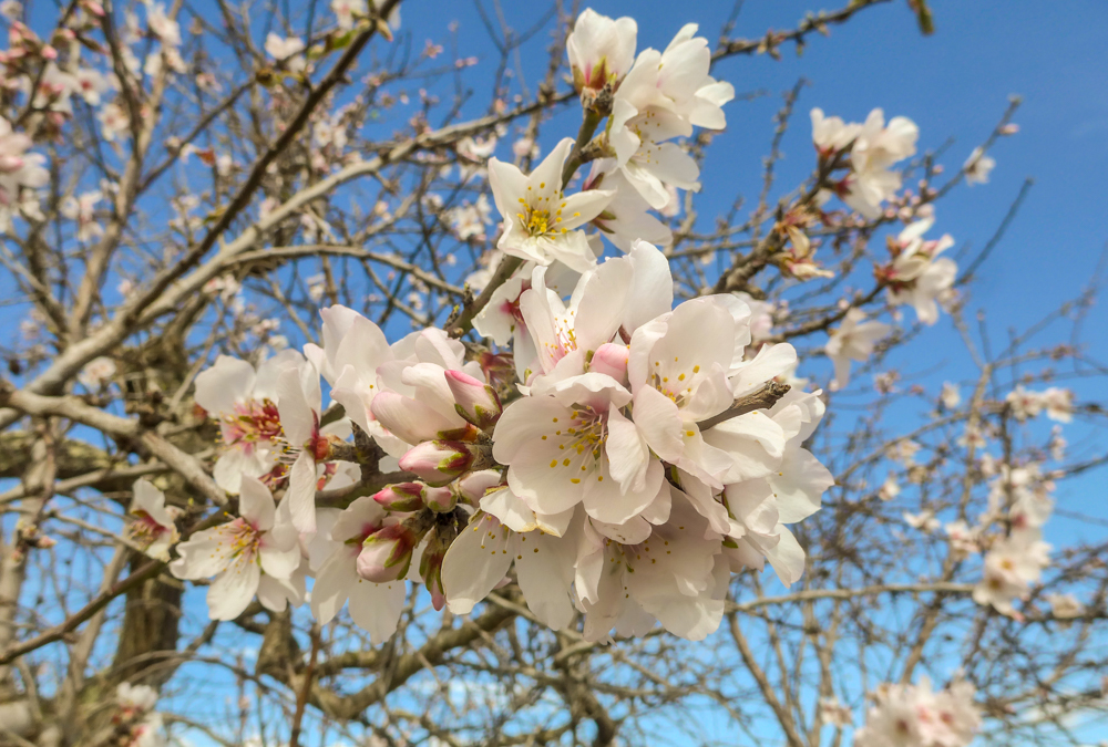 almond blossoms Mallorca