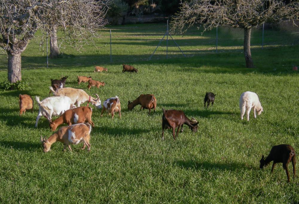 Mallorcan goats